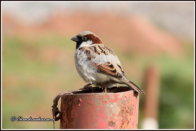 9253 - house sparrow