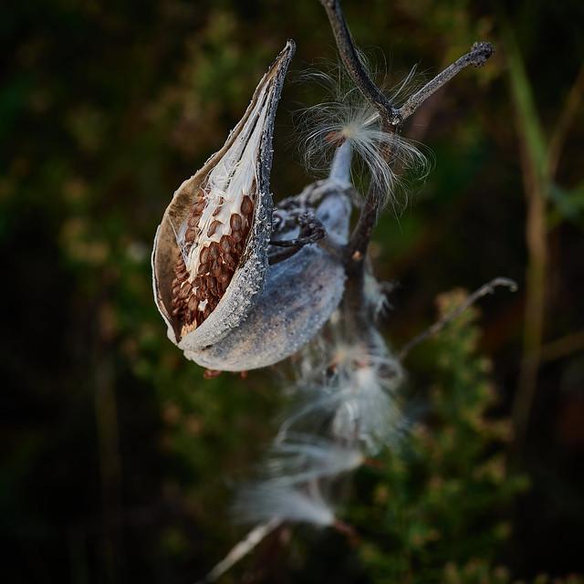 milkweed, late afternoon, 10-9-19