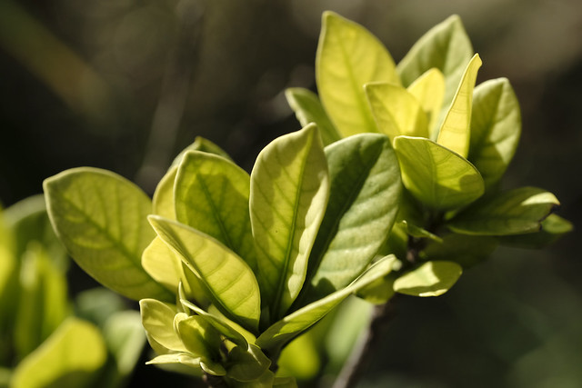 Smooth - Gardenia Leaves