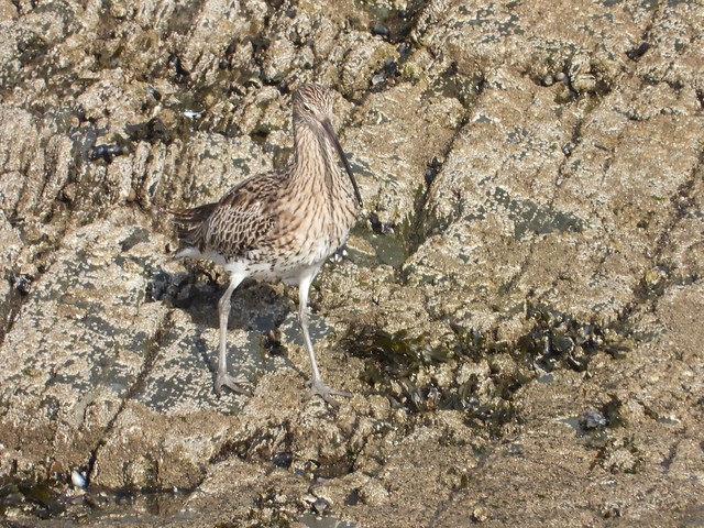 Curlew on the rocks