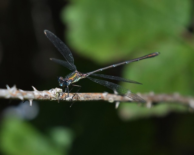 Agrion - Damselfly