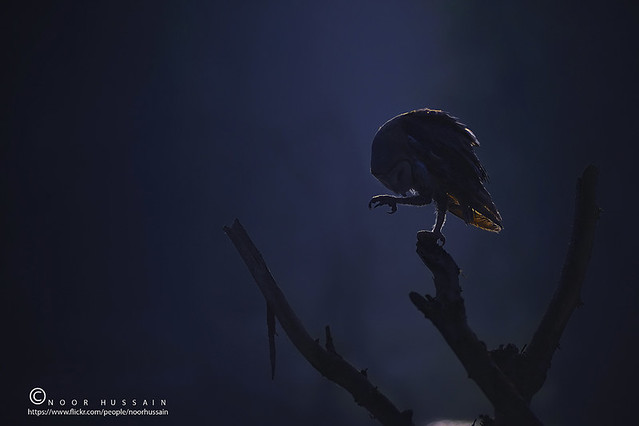 Barn Owl in Moon Light