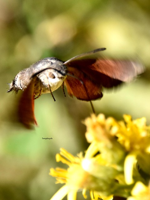Macro from a hummingbird hawk-moth, I needed some time to get a good shot