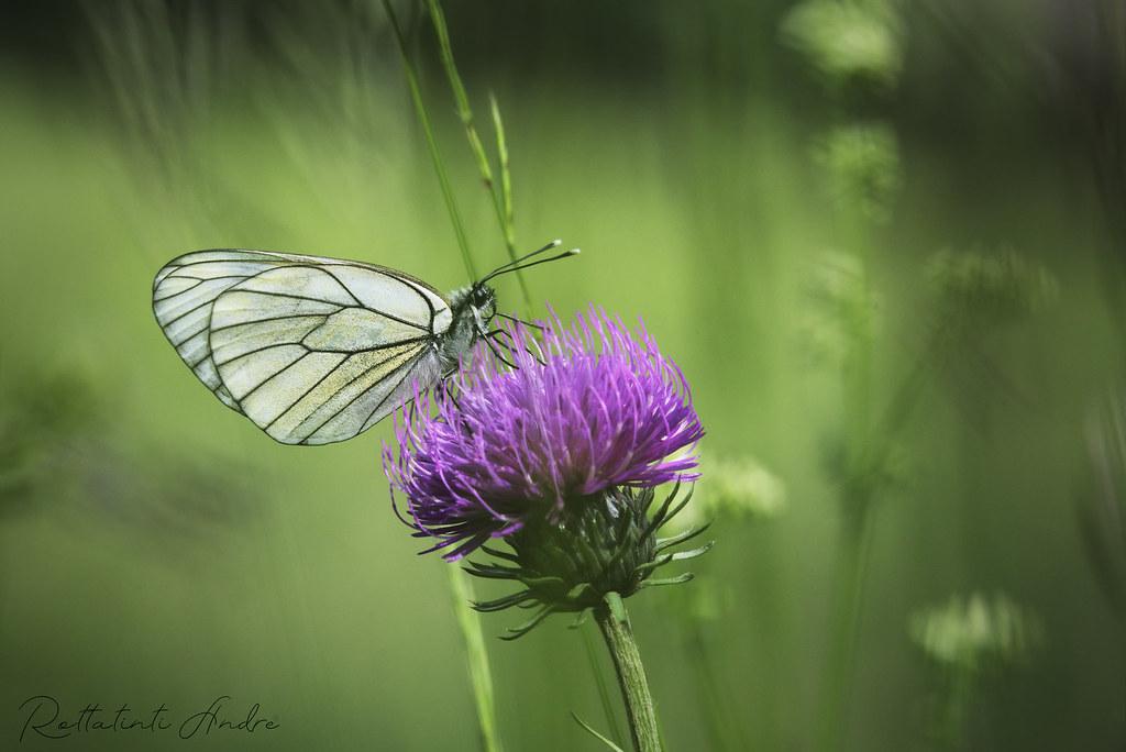 Papillon gazé sur une fleur TEXAS THISTLES