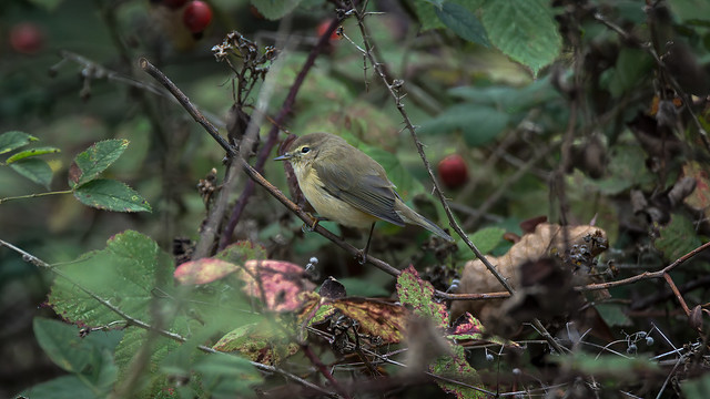 a Chiffchaff in forest - un pouillot veloce en foret