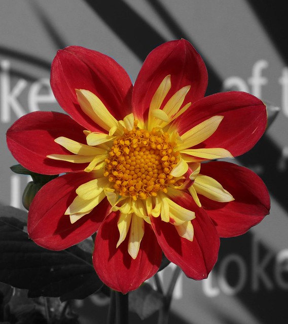 Dahlia colour pop flower study.   (IMG_2666e)