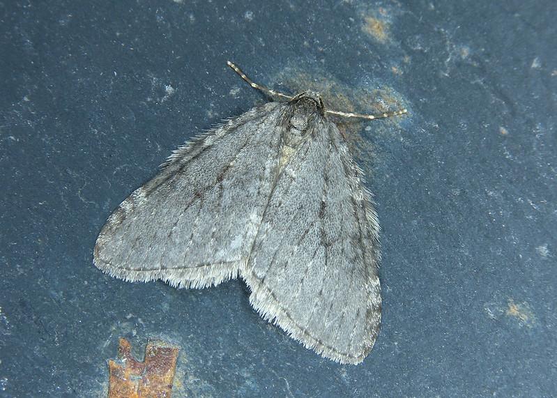 70.107x November Moth agg. - Epirrita dilutata agg.