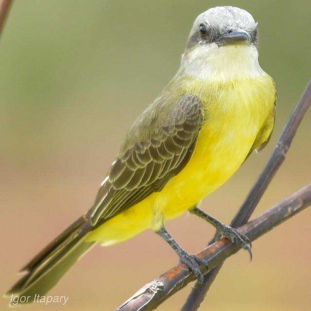 Suiriri- Tyrannus melancholicus-Tropical Kingbird