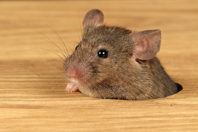 Common House Mouse - Mus musculus