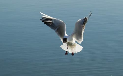 Seagull Velence