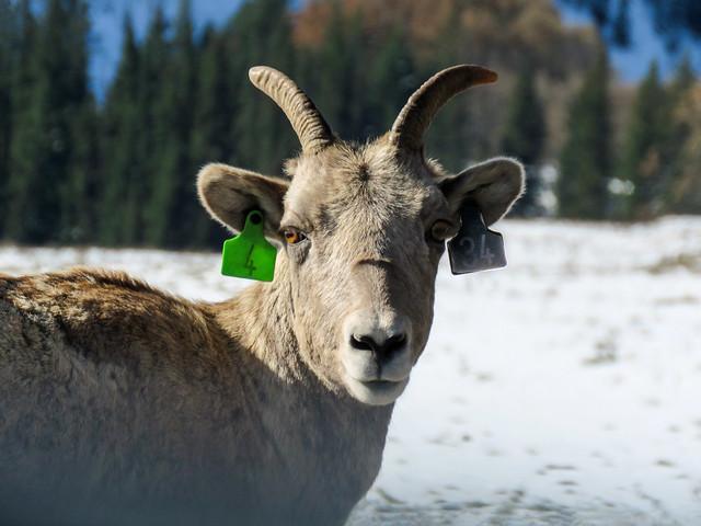 01 Bighorn Sheep female