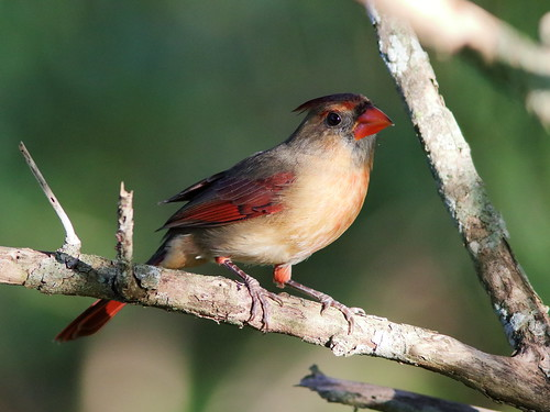 Northern Cardinal female 20191013