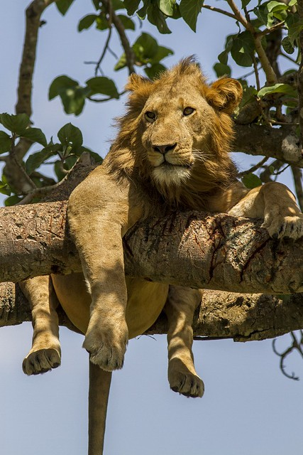 Tree climbing lions found  only in Uganda