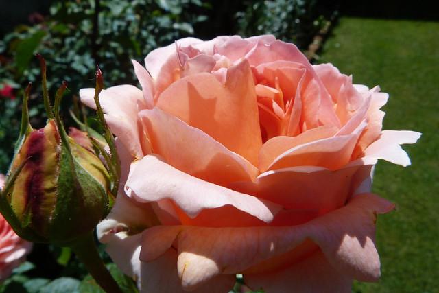 ROSES de JUIN.