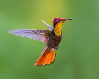 Ruby Topaz Hummingbird, Trinidad.