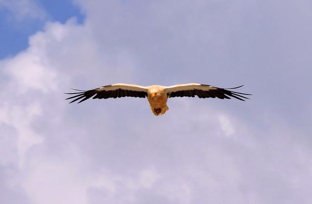 Egyptian Vulture Over Sierra de Guara - The Spanish Pyreneese