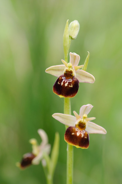 Ophrys holoserica x speghodes?