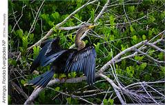 Anhinga, Florida Everglades NP