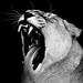 CWP_20190913_Lioness
