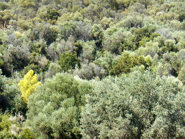 Οι ελιές της αρχαίας Τροιζήνας /  The olive trees of ancient Troezen