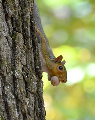 squirrel, hickory nut