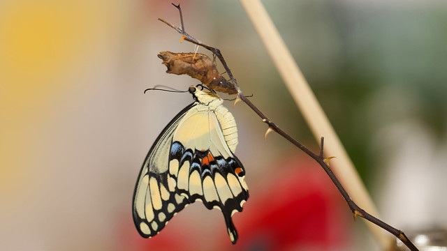 Just-Eclosed Giant Swallowtail