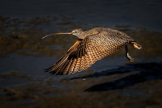 Long-billed Curlew take-off