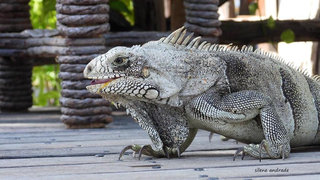 Iguana Stella