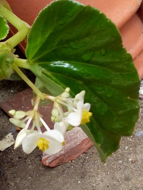 Pequeninas Flores da Kalanchoe Branca no Quintal