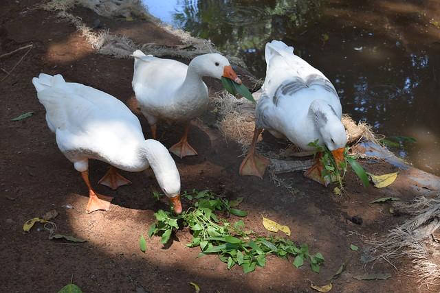 Ducks at Kalangala Island