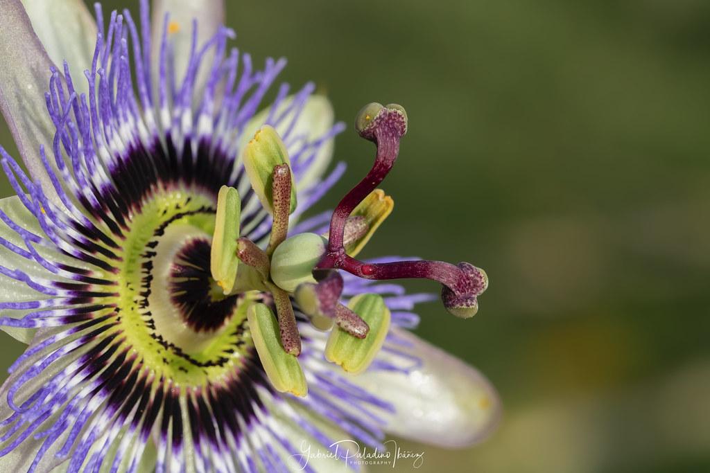 Passiflora caerulea