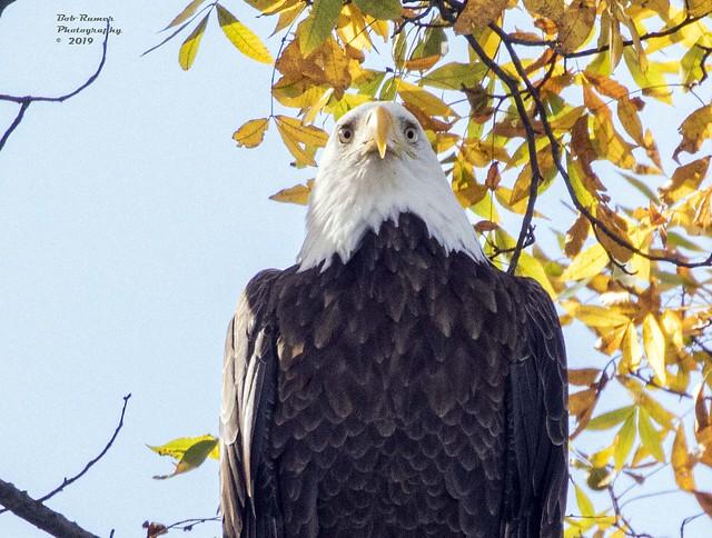American Bald Eagle Adult 2.