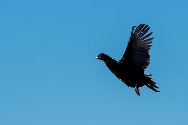 Juvenile Melanistic Mutant Pheasant Rooster - Flight