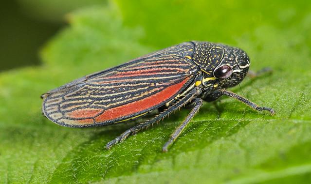 Leafhopper - Cuerna septentrionalis (Cicadellidae, Cicadellinae, Proconiini) 112p-23369
