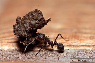 ant14