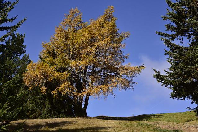 Seiseralm - herbstliche Europäische Lärche (Larix decidua); Südtirol, Italien (496)