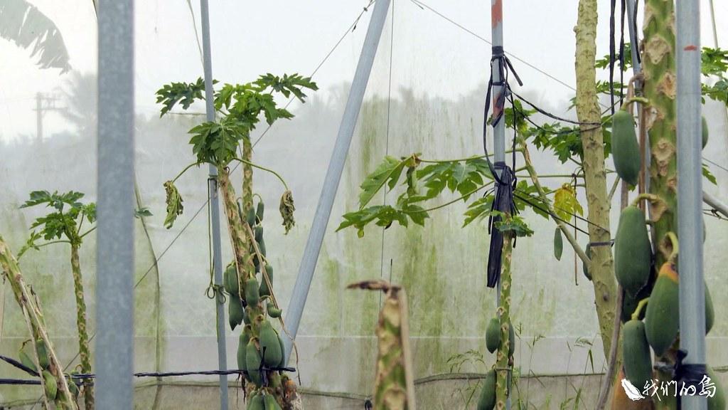 1025-2-1農民懷疑,從回填區溢出的水,就是香蕉成長停滯、木瓜生長點萎縮的主因。