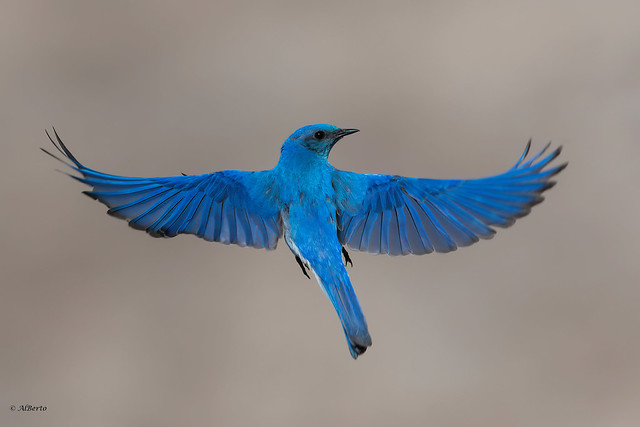 Mountain Bluebird / Merlebleu azuré