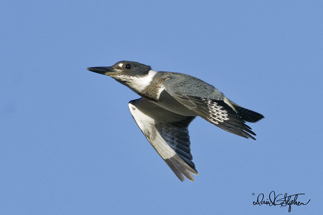 Belted Kingfisher Flies Close