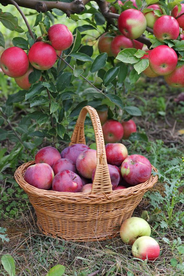 apples rochester ny