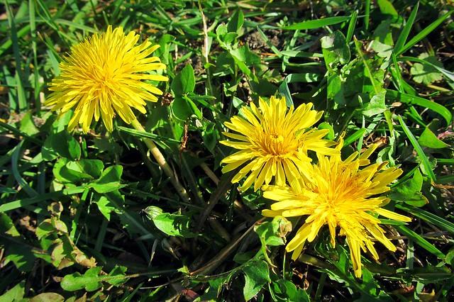 October dandelions :)