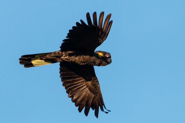 Yellow-tailed Black-cockatoo in Flight