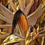 a-maize-ing . . .