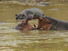Hippo love heart      https://naturallysouthaustralia.com/