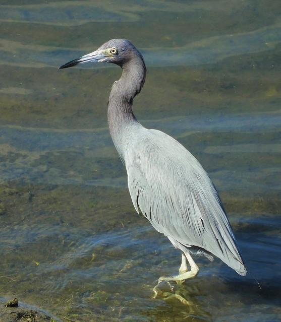 Little Blue Heron in San Diego!