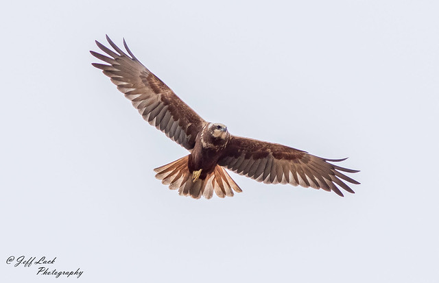 DSC4198  Marsh Harrier...