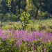 Marsh with purple loosestrife