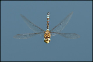 Migrant Hawker (image 1 of 2)