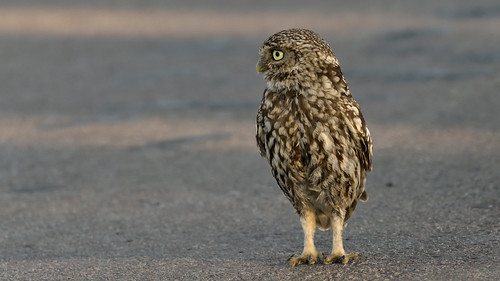 Little Owl (image 1 of 2)