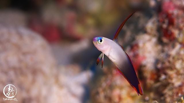 アケボノハゼ幼魚はシックな色合い♪